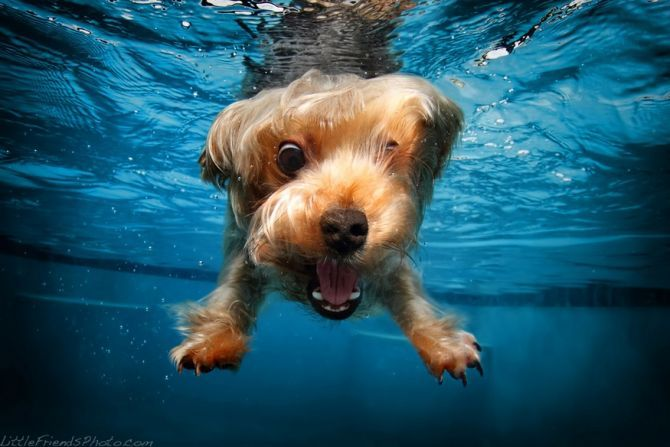 0000000021 c6be2ceb7751293c11c052798371155a yorkshire terrier under water
