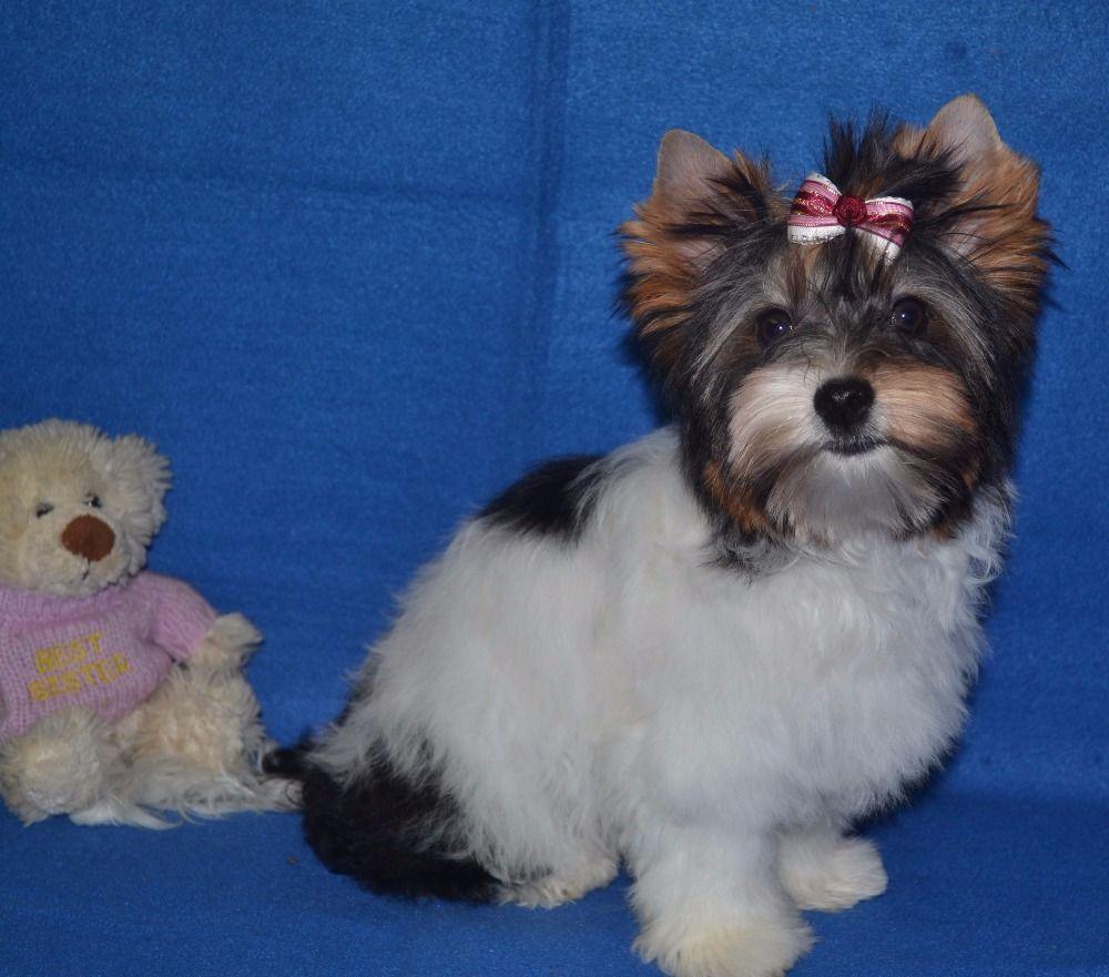 Chiens yorkshire terrier 85962430 cfbd 60d4 39c9 d4971c7b0557 minquintana