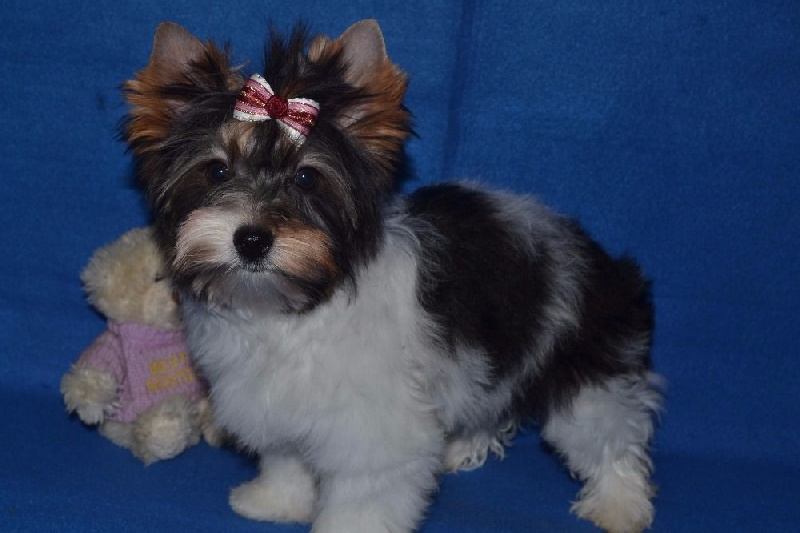Chiens yorkshire terrier f66288cd ed33 34a4 bd76 708551119a73la toya